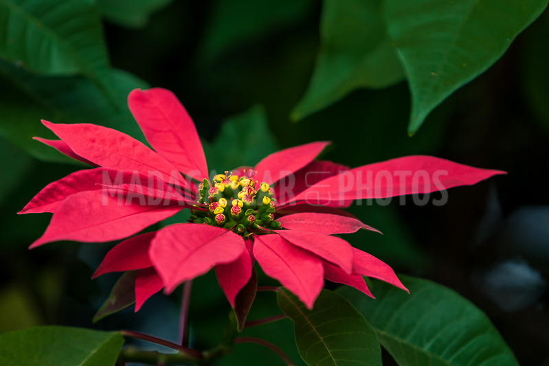 Madagascar En Photos Flowers Of Poinsettia