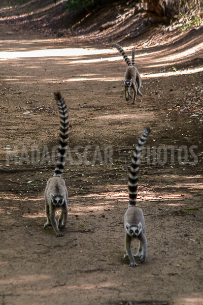 lemurs in madagascar assignment Watch: bbc reporter is literally mobbed by gang of lemurs  while you're bound to find a few in zoos, lemurs are native to madagascar.