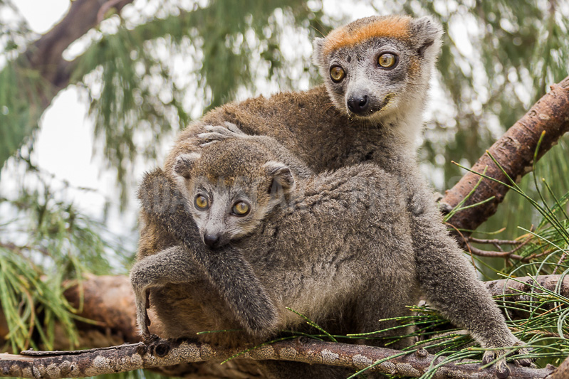 Lemurs in Madagascar Assignment