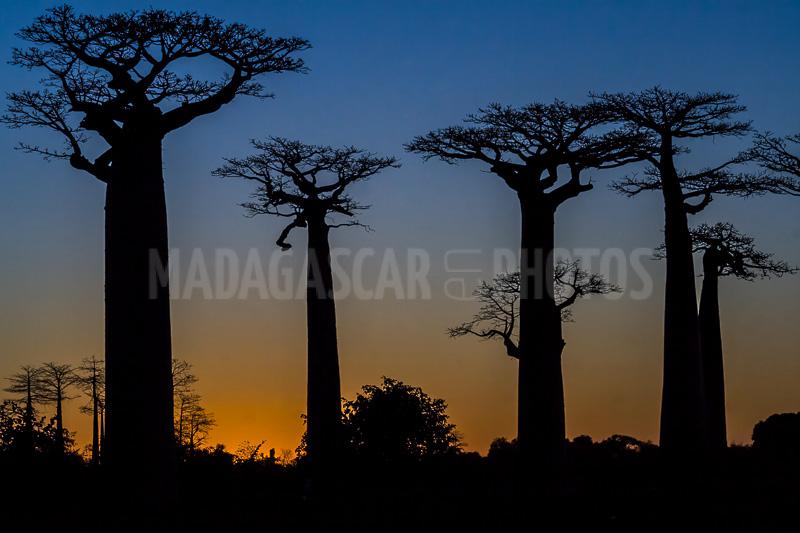Madagascar En Photos Les Baobabs De Madagascar
