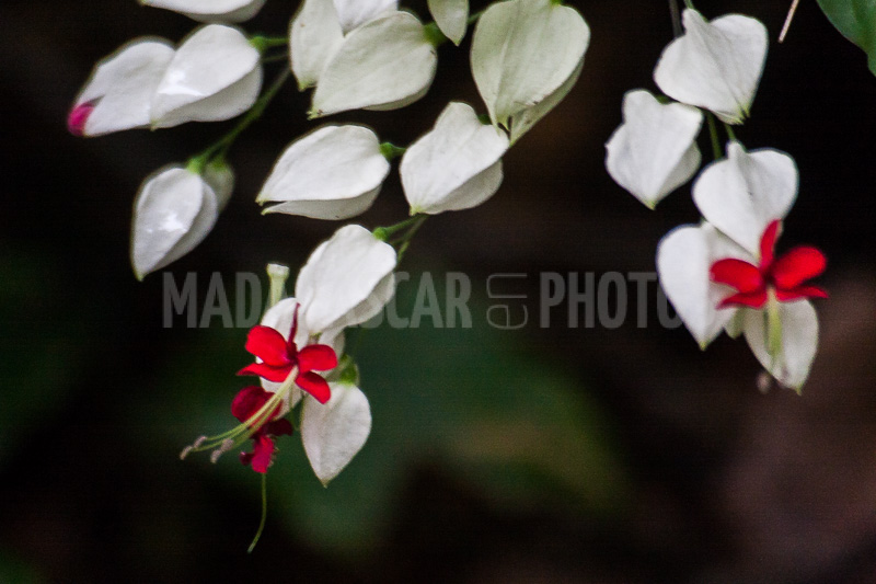 Madagascar En Photos Flowers Of Clerodendron