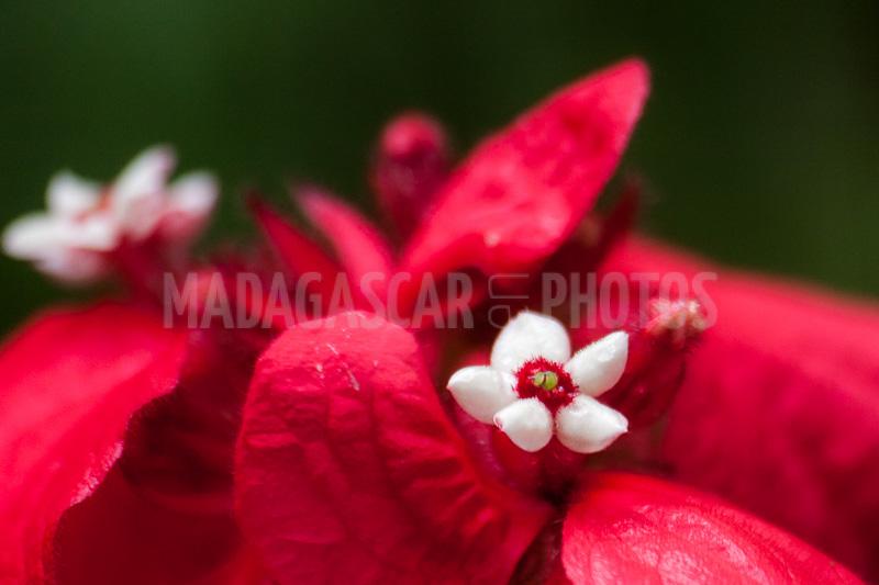 Madagascar En Photos Flowers Of Mussaenda