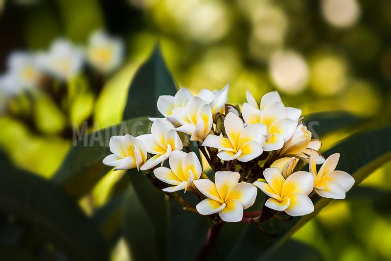 Madagascar En Photos Flowers Of Frangipani Plumeria
