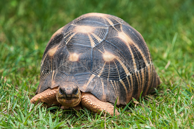 Madagascar en photos la tortue radiata ou tortue toil e - Images tortue ...